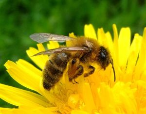 764px-Honey_bee_on_a_dandelion,_Sandy,_Bedfordshire_(7002893894)