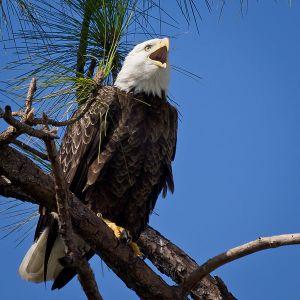 600px-Bald_Eagle-27527-13