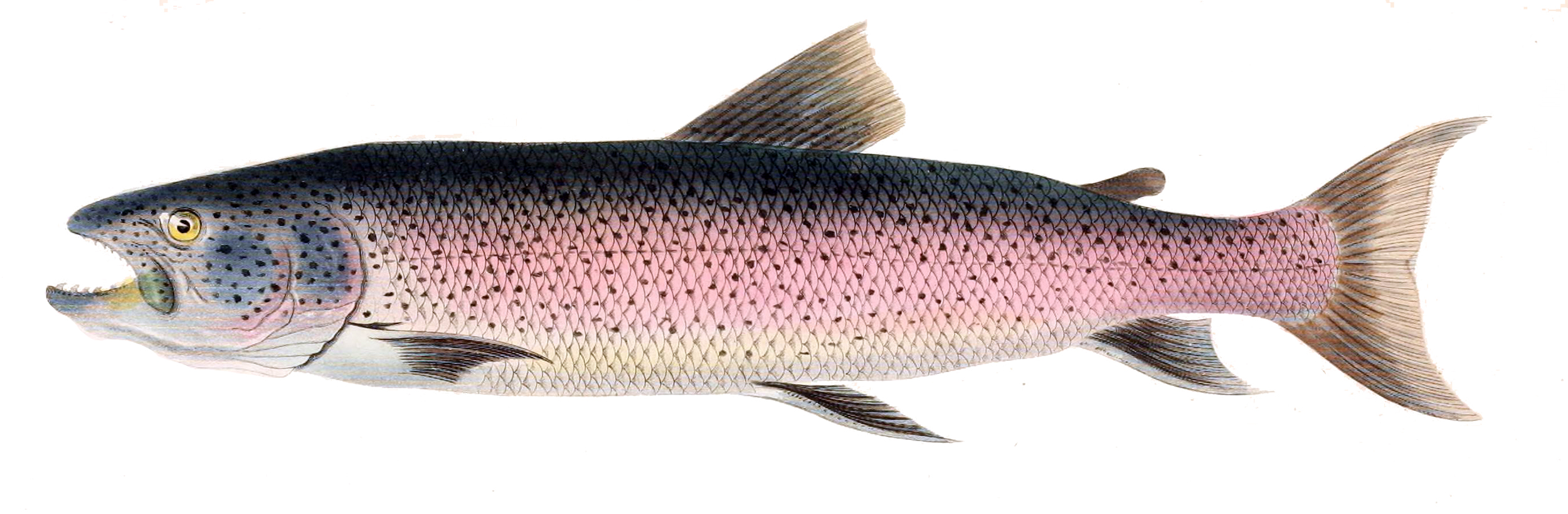 Five reasons you should stop eating salmon meatonomic for Fish that eat other fish