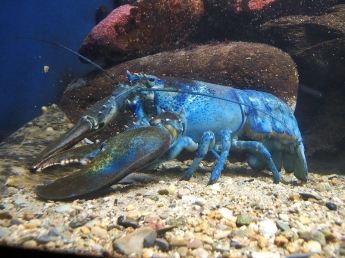 800px-Blue-lobster