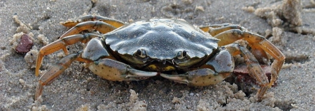 800px-Common_shore_crab_2