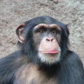 800px-Chimpanzee-Head